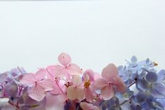 3 types of hydrangea. On white stock images