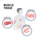 Types of muscle tissue. Skeletal, smooth and cardiac muscle. Silhouette of a man with highlighted the Human internal organs heart, intestines, muscle and Royalty Free Stock Photography
