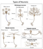 Types of neurons. Detailed and accurate, Eps8, gradient and mesh printing compatible Stock Photography