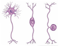 Types of neurons Stock Photos