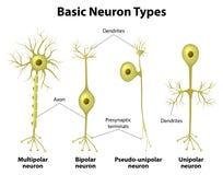 Types Of Neurons. Basic neuron types. Unipolar, pseudo-unipolar neuron, bipolar, and multipolar Neurons. Neuron Cell Body. Different Types of Neurons royalty free illustration
