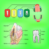 Types and structure of teeth. Types of teeth and external and internal structure of tooth Stock Image