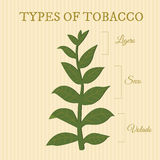 Types of tobacco. Depending on position of the leaves on the plant Royalty Free Stock Photos