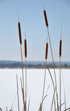 Typha Royalty Free Stock Photography