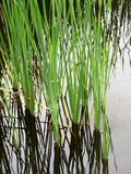 Typha angustifolia Royalty Free Stock Photo