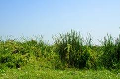 Typha angustifolia papyrus Stock Image
