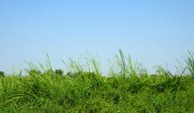 Typha angustifolia papyrus Stock Photos