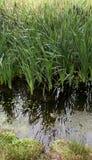 Typha bij het moeras Stock Afbeelding