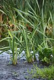 Typha at channels. Royalty Free Stock Photo