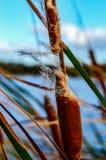 Typha domingensiszaden in de wind Stock Foto's