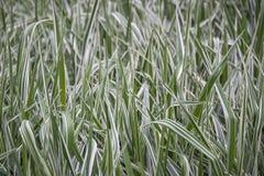 Typha, langes Gras, das in einem Sumpf wächst lizenzfreies stockbild