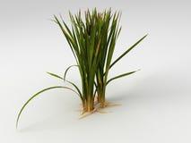 Typha latifolia Obrazy Royalty Free