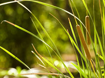 Typha Latifolia Royalty Free Stock Images