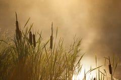 Typha latifolia against the sunrise mist Royalty Free Stock Photo