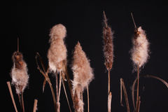 Typha latifolia Cattail. Cattails nice arranged and isolated against a black background Royalty Free Stock Photography