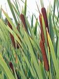 Typha latifolia, Cattail Stock Afbeeldingen