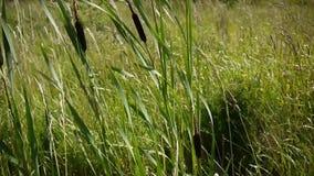 Typha latifolia, Common Bulrush, Broadleaf Cattail HD video footage. Static camera stock video footage