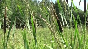 Typha latifolia, Common Bulrush, Broadleaf Cattail HD video footage. Horizontal panorama camera stock video