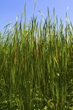 Typha latifolia, Common Bulrush Royalty Free Stock Photography