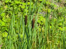 Typha latifolia, gemeine Binse, breitblättriger Cattail, großes reedmace, Fassbinder ` s Schilf, Anlagen mit dem Riping sät Nahau Stockbilder