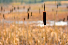 Typha laxmannii Royalty Free Stock Image