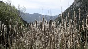 The Typha plant of the marshes. stock video footage