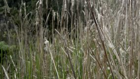 The Typha plant of the marshes. stock footage