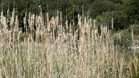 The Typha plant of the marshes. stock video