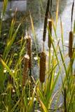 Typhapflanzenart bekannt als Binse, gladio, ENEA oder totora lizenzfreie stockbilder