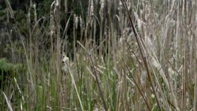 Typhaväxten av träsken arkivfilmer