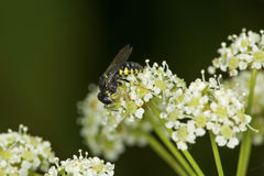 Typhiid wasp on white poison hemlock flowers in Connecticut. Stock Images
