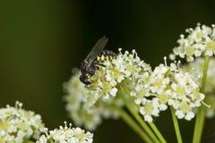 Typhiid-Wespe auf weißem Giftschierling blüht in Connecticut Stockbilder