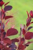 Typhina do Rhus, planta do cársico Fotografia de Stock