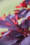 Typhina do Rhus, planta do cársico na cor roxa Imagem de Stock Royalty Free