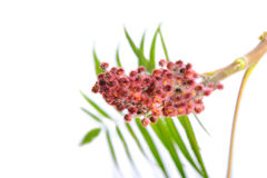 Цветок typhina Rhus с листьями Стоковые Фото