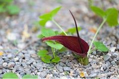 Typhonium Trilobatu花,天南星科 免版税库存图片