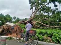 Tree collapse after typhoon stock images