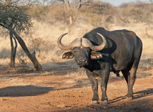 Typical African Buffalo. A large male bull Buffalo, one of the famous African Big Five Royalty Free Stock Photo