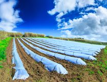 A typical agriculture technology of early spring cultivation of. Vegetable crops in open soil. Arable wrapped a polyethylene film. Springtime landscape Stock Photos