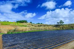 A typical agriculture technology of early spring cultivation of. Vegetable crops in open soil. Arable wrapped a polyethylene film. Springtime landscape Royalty Free Stock Images