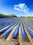 A typical agriculture technology of early spring cultivation of. Vegetable crops in open soil. Arable wrapped a polyethylene film. Springtime landscape Royalty Free Stock Image
