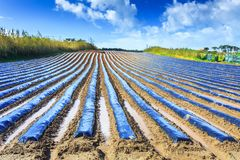 A typical agriculture technology of early spring cultivation of. Vegetable crops in open soil. Arable wrapped a polyethylene film. Springtime landscape Royalty Free Stock Photos