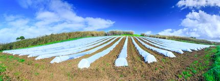 A typical agriculture technology of early spring cultivation of. Vegetable crops in open soil. Arable wrapped a polyethylene film. Springtime landscape Stock Photography