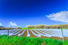 A typical agriculture technology of early spring cultivation of. Vegetable crops in open soil. Arable wrapped a polyethylene film. Springtime landscape Stock Image