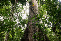 Typical Amazonian vegetation in Ecuadorian primary jungle Stock Photo