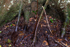 Typical Amazonian vegetation in Ecuadorian primary jungle Stock Images