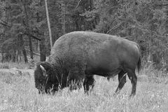 Typical American Bison on the pasture in Grand Teton National Pa Royalty Free Stock Photography