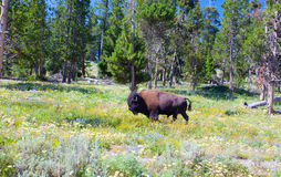 The typical American Bison in the Yellowstone National Park Stock Image
