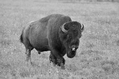 The typical American Bison in the Yellowstone National Park Stock Photos