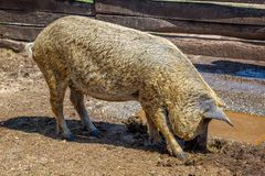 Typical And Special Hungarian Pig Specie Mangalica, That Means Whose Meat Contains Very Little Cholesterol Stock Image